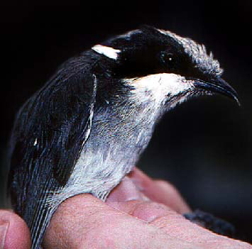 Helemeted honeyeater, light pigmentation