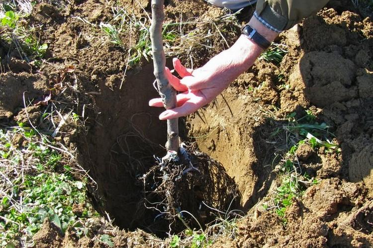 Установка яблони в посадочную яму