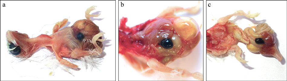 "Circovirus, congestion of the gallbladder, is expressed as ""black spot disease,"" which is shown in a 2-day-old canary prior to and after necropsy"