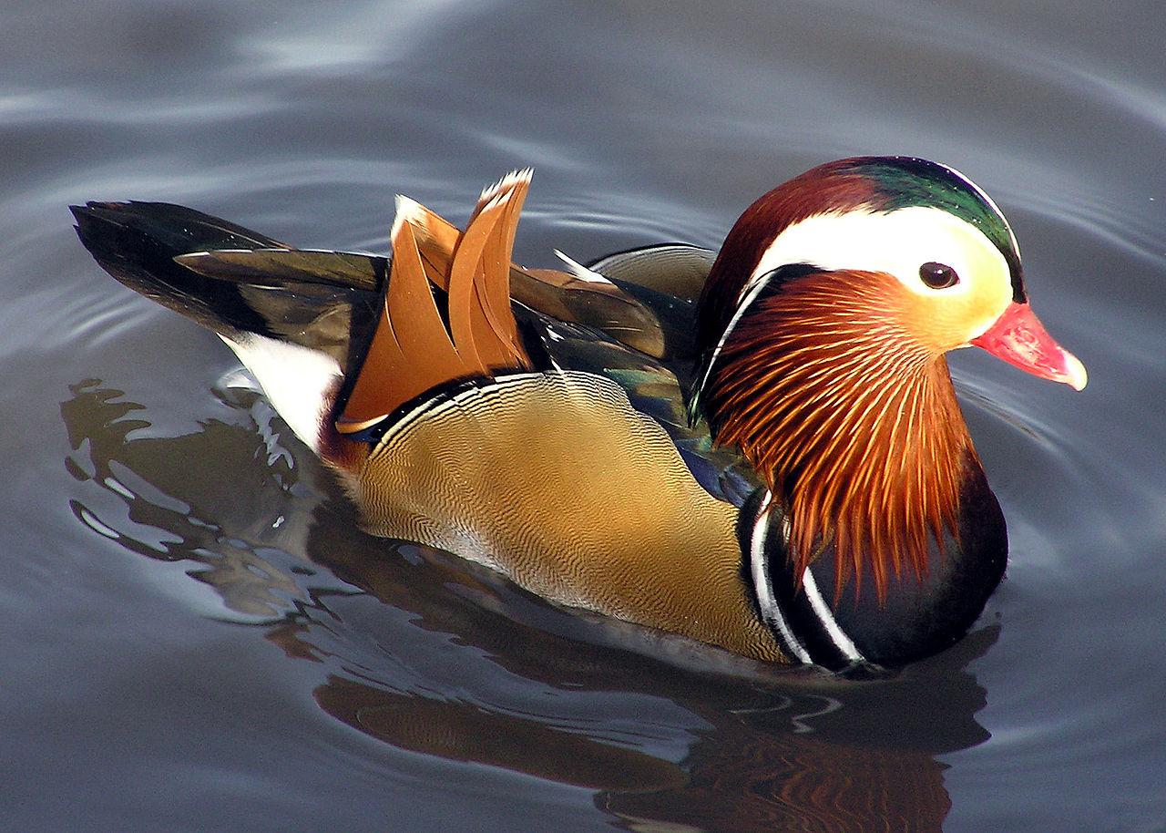 File:Mandarin.duck.arp.jpg