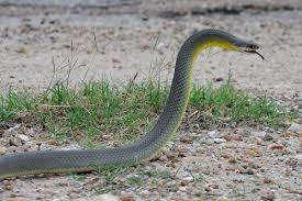Easter yellow-bellied racer