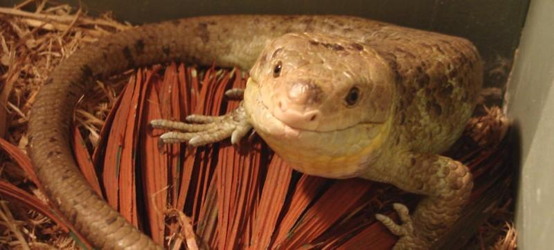 Image result for monkey tailed skink