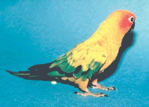 The sun conure (Aratinga solstitialis) is one of several conure species that are commonly bred in captivity, but even hand-raised individuals are loud and somewhat aggressive