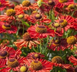 https://www.vitroflora.pl/img/produkty/rosliny/_big/byliny-i-trawy_inne_79105_1.jpg