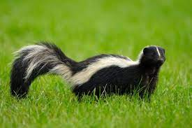How to Get Rid of Skunks, Step by Step   MYMOVE