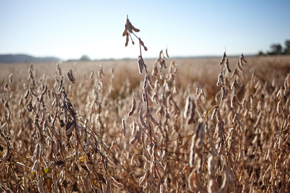 La Niña pode dificultar lavouras de soja, em especial no Rio Grande do Sul. (Fonte: Shutterstock)