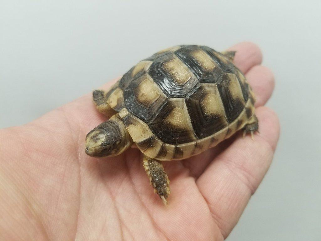 Image result for marginated tortoise