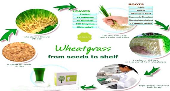 wheatgrass-seeds-to-shelf.jpg