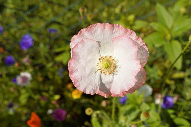 poppy-2478439_640.jpg