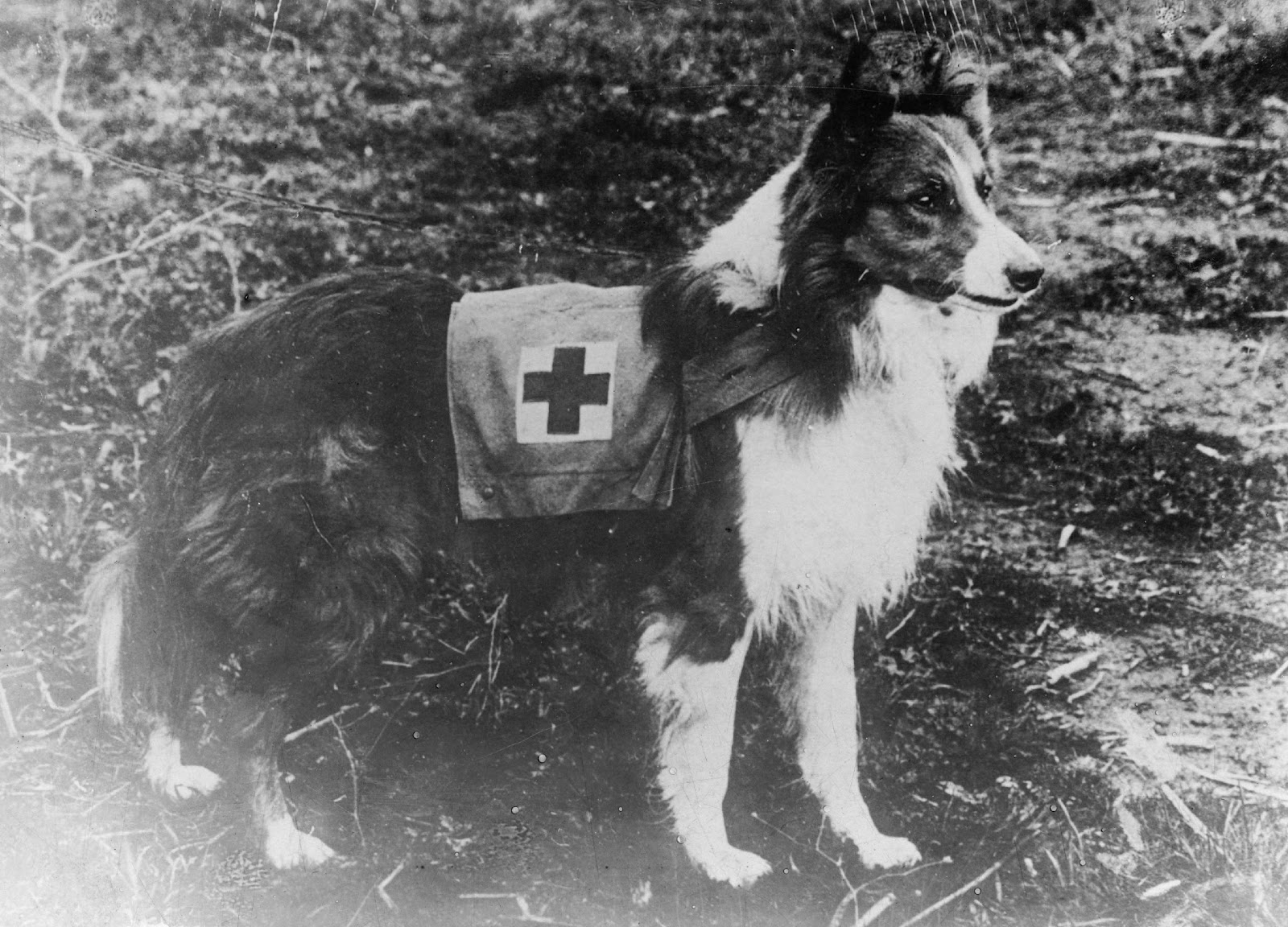 Lifesaving ambulance dogs