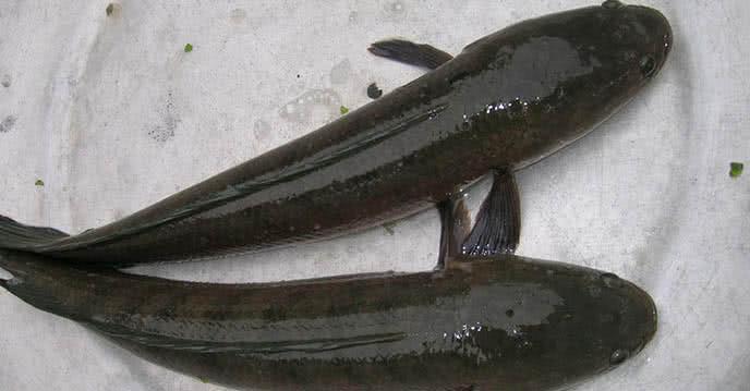 Thông đường ống cống nghẹt tại nhà bằng cá lóc