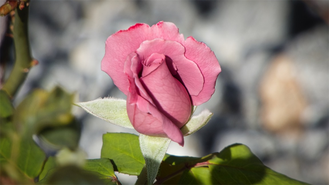 Fleshy Rose Bud.jpg