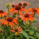 https://www.vitroflora.pl/img/produkty/rosliny/_137X137/byliny-i-trawy_standard-short_79299_2.jpg