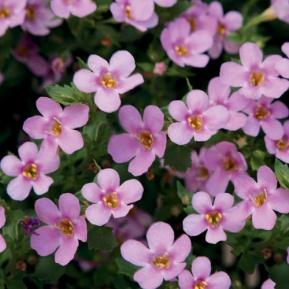 Image result for Bacopa snowstorm pink