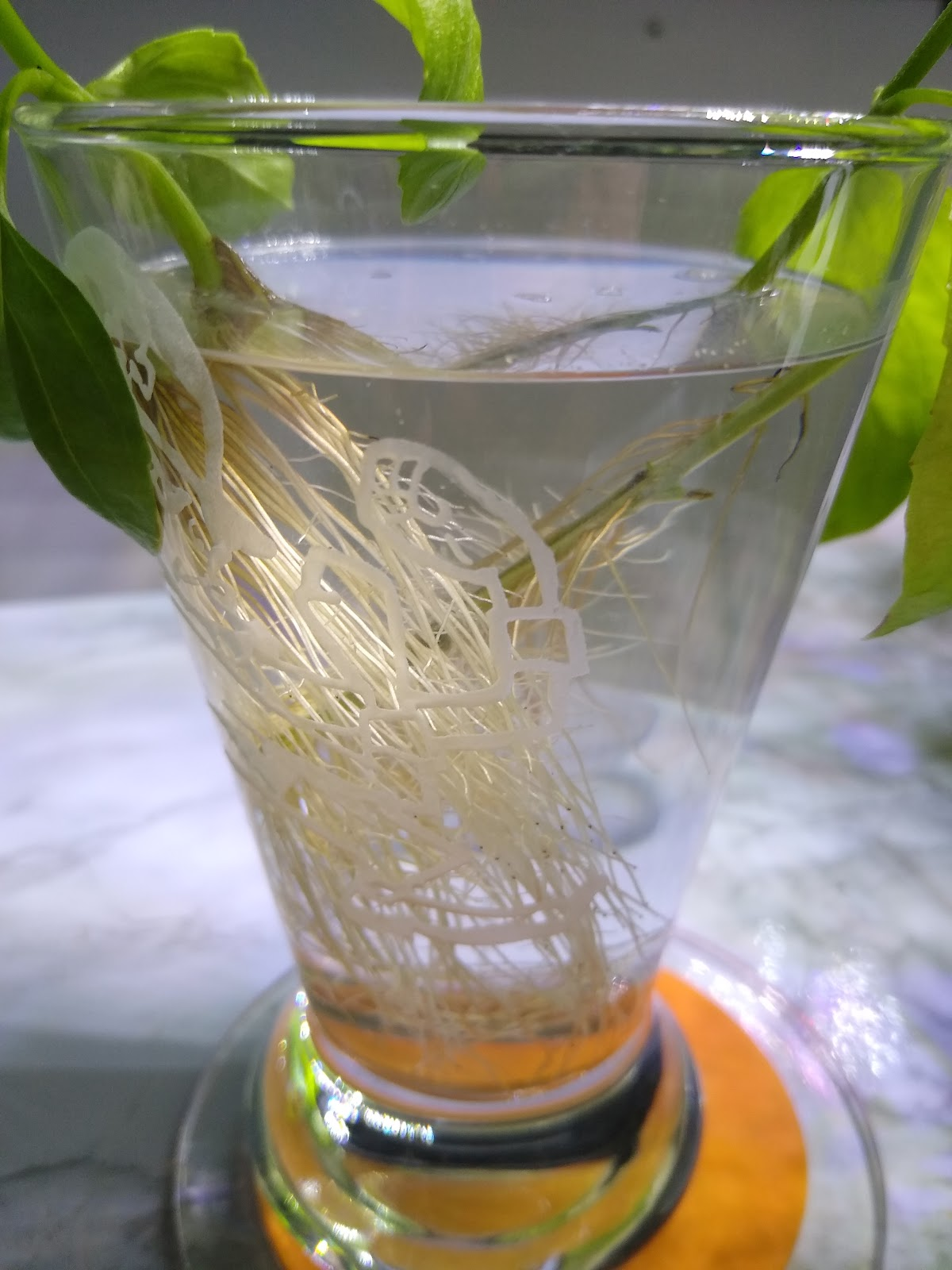basil roots picture