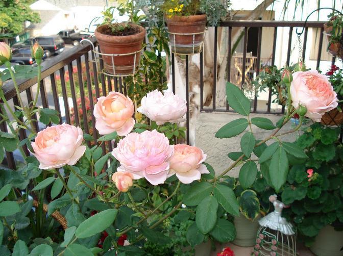 Выращивание розы на английском 11