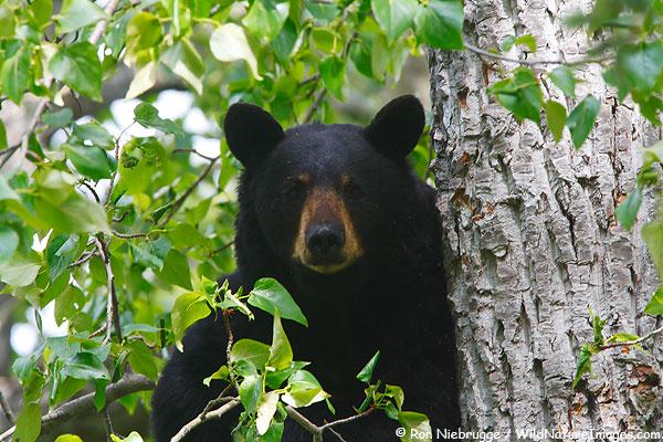 black bears in missouri missouri s natural heritage