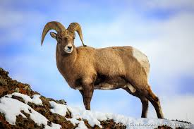 Image result for bighorn sheep