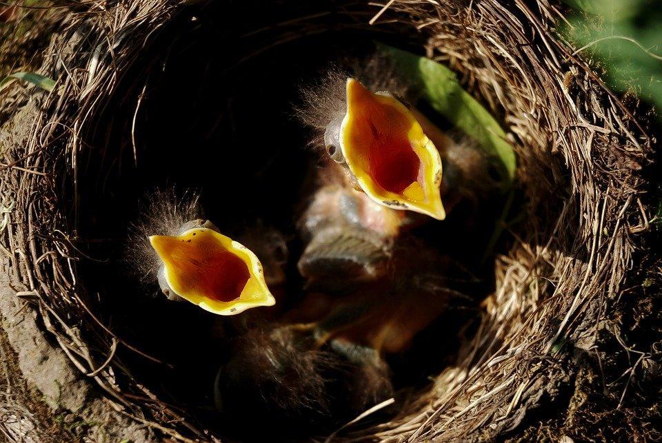 Chick, Nest, Hungry, Birds, Bird'S Nest, Nature
