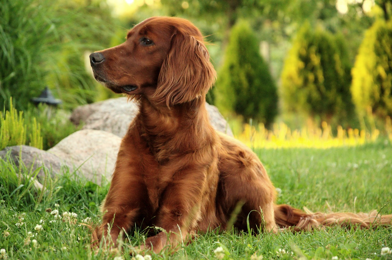 A beautiful Irish Setter is shown in this picture.
