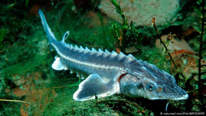 Осетр - рыба, которой угрожает полное исчезновение