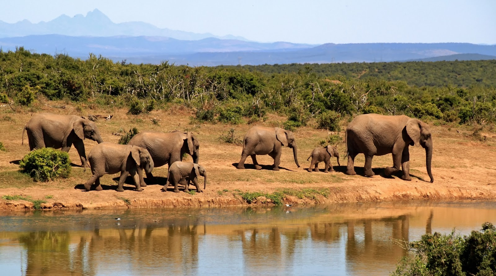 elephant-herd-of-elephants-african-bush-elephant-africa-59989.jpeg