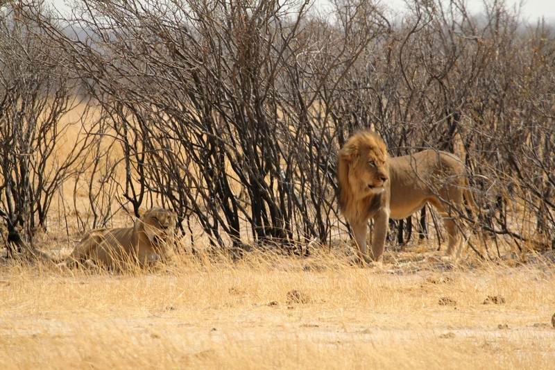 Lions near Kapula vlei Hwange