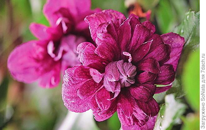 Клематис фиолетовый (C. viticella) 'Purpurea Plena Elegans'