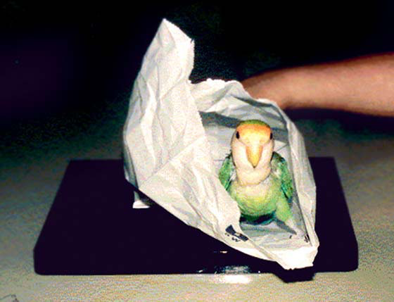 The bird is placed in a bag sealed with tape and the bag is placed on the cassette; the exposure is made