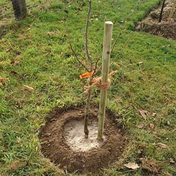Подвязка саженца сливы к деревянному колу в процессе посадки ранней весной