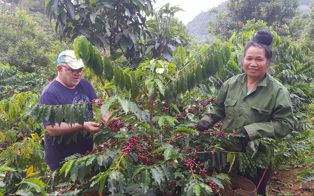 picking coffee cherries in Vietnam