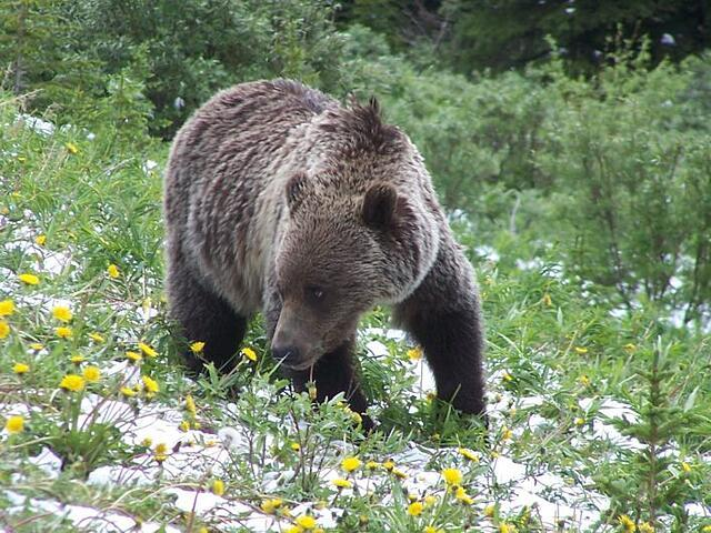 Consider yourself lucky if you see a grizzly or black bear but give them lots of space