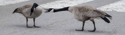 Are Geese Nesting on Your Property? | Go Geese Go