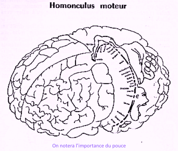 homonculus cerveau.png