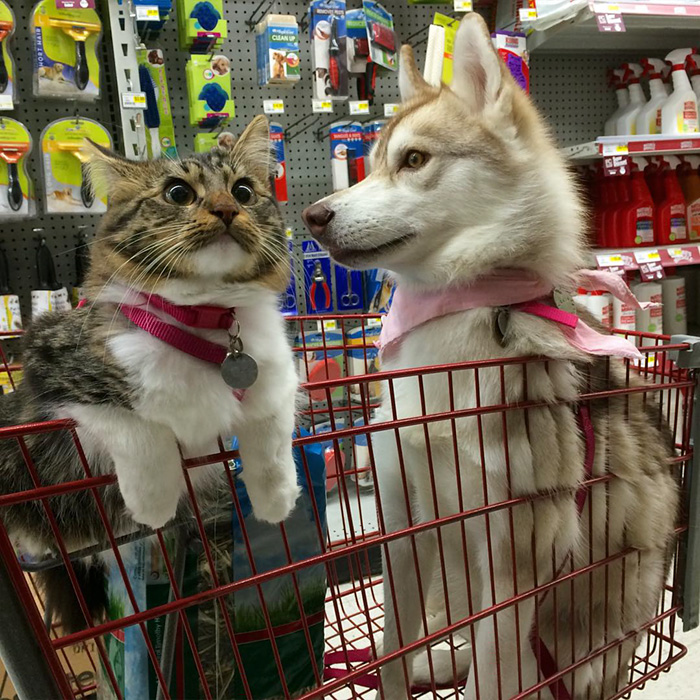 rosie-cat-grows-up-husky-mother-lilo-54