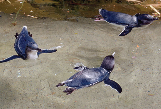 Aquatic species, such as these little blue penguins (Eudyptula minor), need a proper pool to allow swimming and prevent foot problems