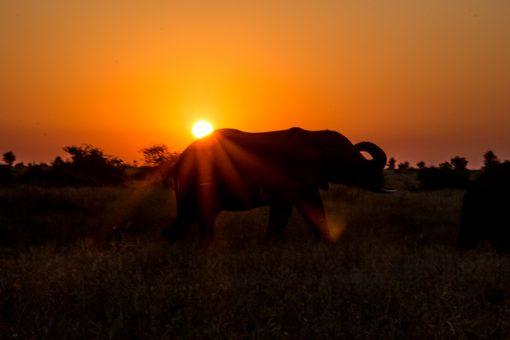 Animais selvagens da África do Sul -Por do sol alaranjado e o perfil de um elefante na savana do Kruger National Park