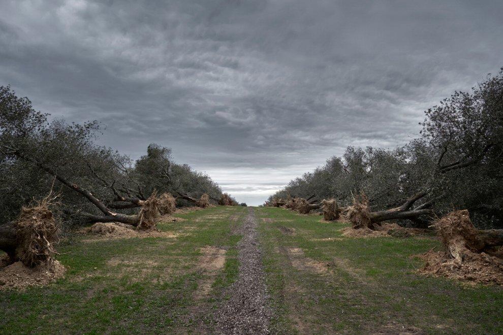 Campo com árvores caídas, que foram cortadas para conter o avanço da bactéria X. fastidiosa
