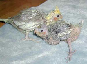 Cockatiel chicks with splayed legs from hypovitaminosis E.