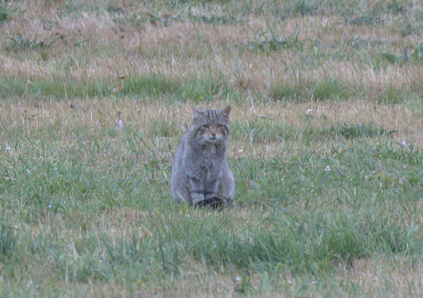 wildcat_rsz.jpg