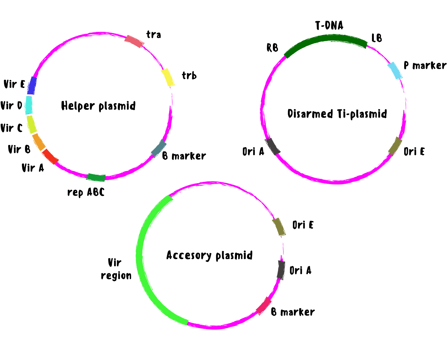 Illustration of the Trenary Vector for agrobacterium-mediated gene transfer. This vector system includes 3 plasmids - a helper plasmid, a disarmed TI plasmid and an accessory plasmid