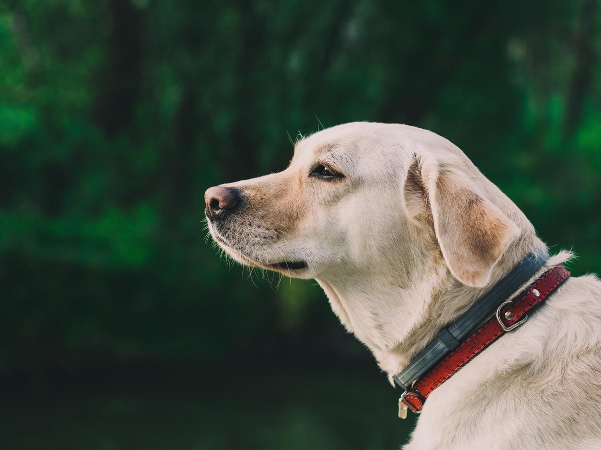 labrador là giống chó cực kỳ trung thành