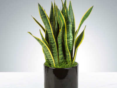 how to take care snake plant