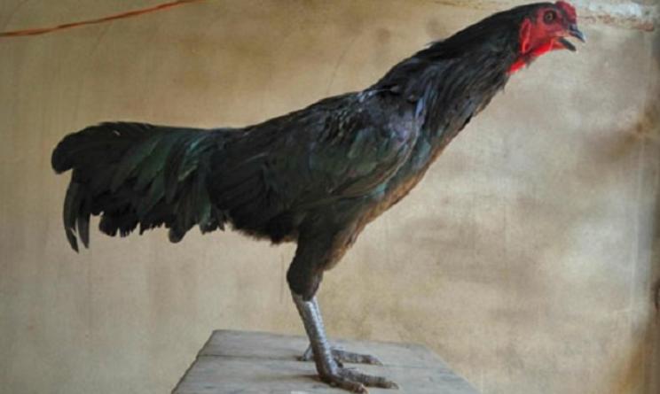 Khám phá những nét đặc sắc từ gà chân chì