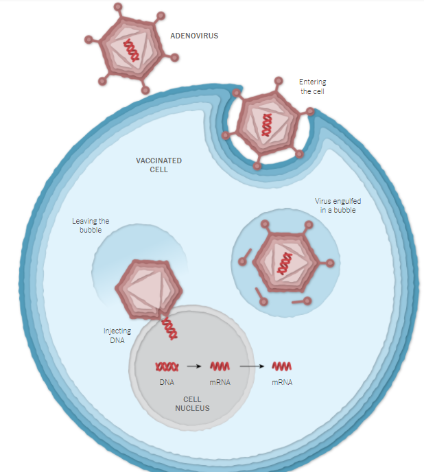 O que acontece após a aplicação da vacina de Oxford