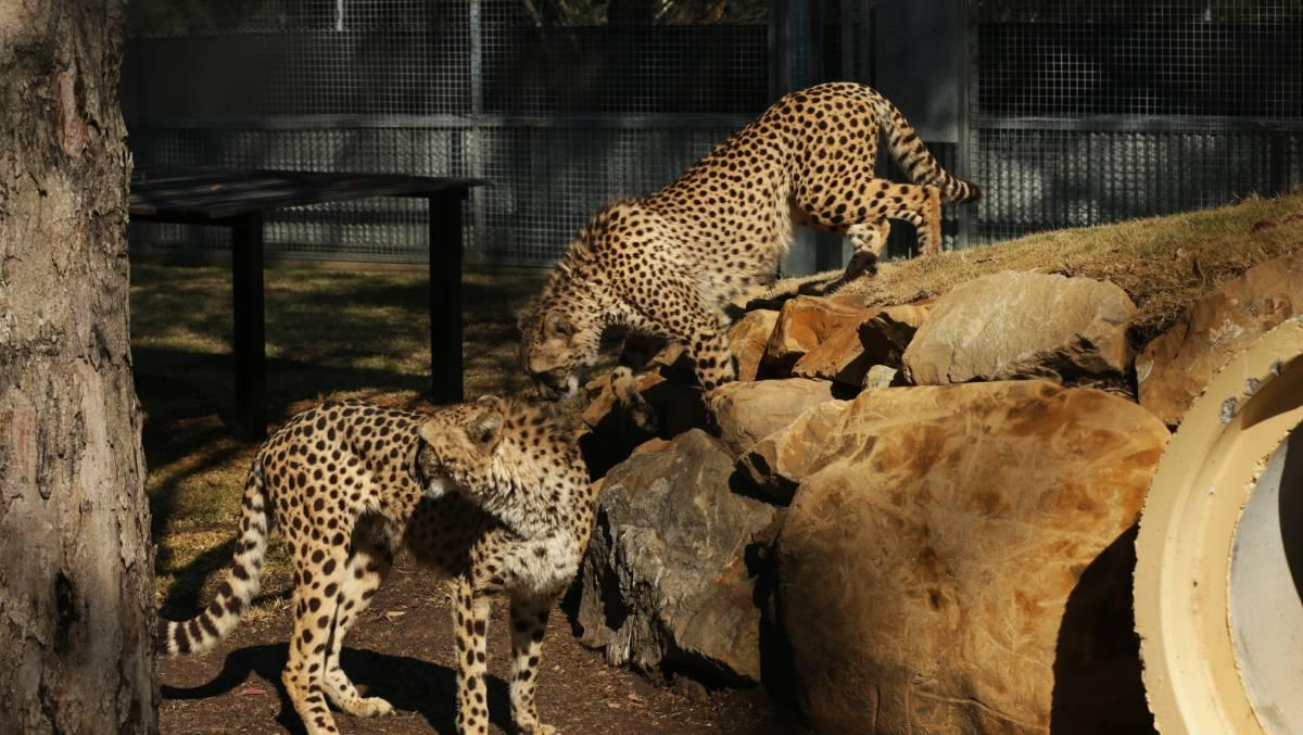 CHEETAHS: Aibu and Jabari are new arrivals at the Hunter Valley Zoo. Picture: Simone De Peak