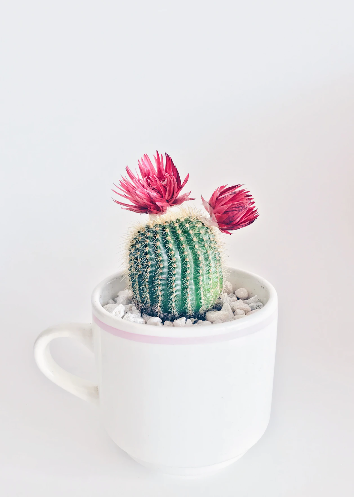 Blooming cactus in a mug