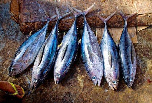 Tuna Fish, Tuna, Fish, Catch, Scales