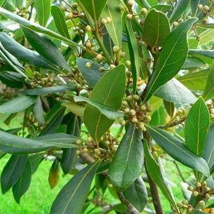 Image result for شجرة الغار