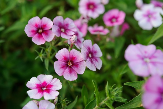 Phlox drummondii 'Cranberry and Cream'